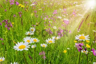 Bunte Blumenwiese im Frühling und Sonnenstrahlen
