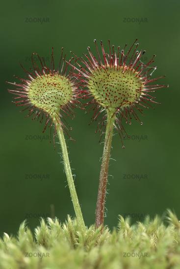 round-leaved sundew, Rundblaettriger Sonnentau, Drosera rotundifolia