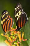 Large tiger butterflies