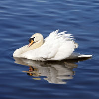 mute swan (Cygnus olor), swimming, side view, Essen, North Rhine-Westphalia, Germany, Europe