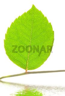 leaf on stem over water