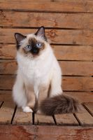 SACRED CAT OF BIRMA, BIRMAN CAT, BIRMAN, ADULT, SEALPOINT, INTERSTEDLY,