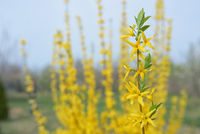 Blooming forsythia bush