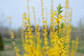 Blooming forsythia bush