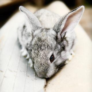 Cute cudly baby grey pet bunny rabbit.