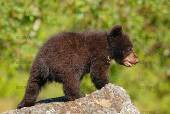 Baby American black bear