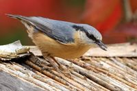 nuthatch on the bird house