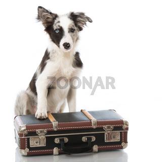 Junger Border Collie mit Koffer