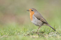 songbird... Robin Redbreast *Erithacus rubecula*