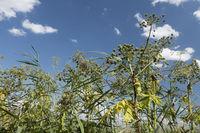 giant hogweed, Heracleum mantegazzianum