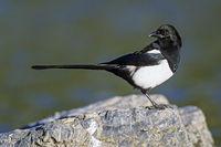 Black-billed Magpie / American Magpie