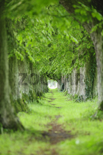 Baumallee mit vielen alten Kastanienbäumen und Fußweg im Frühling