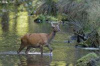 Red deer (Cervus elaphus) walking through water, Schleswig- Holstein, Germany, Europe