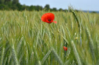 corn poppy; corn rose; field poppy; red weed; red poppy;