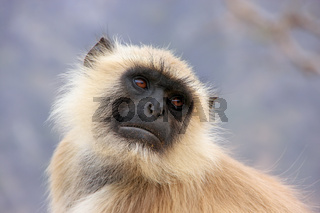 Portrait of gray langur sitting in  Amber Fort near Jaipur, Rajasthan, India