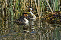 Couple of Great crested grebe (Podiceps cristatus) at the nest,