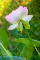 Fresh Lotus Blossom