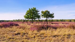 Heidelandschaft im Spätsommer - Heath landscape with flowering Heather