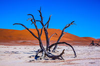 Picturesque dry trees in Park Namib-Naukluft