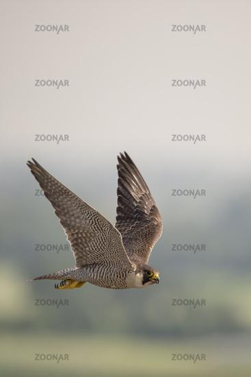 in flight above its territory... Peregrine Falcon *Falco peregrinus*