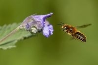 mason bee on a catmint