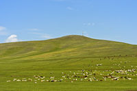 Mixed herd of sheep and Kashmir goats grazing in the Mongolian steppe