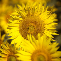 Sonnenblume, Nahaufnahme, quadratisches Format