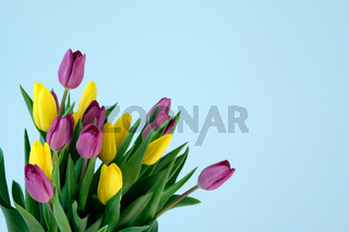 violett and yellow and violett tulips on the left side ofl ight blue background