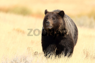 Grizzlybaer Lamar Vally Yellowstone NP