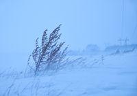 Dry sagebrush grass under the blizzard ice storm in winter