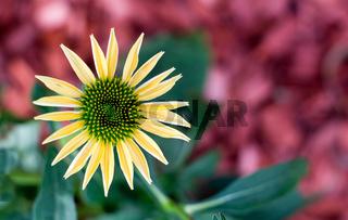 Gelber Sonnenhut - Die Blüte des Sommers