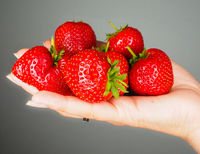 Hand full of big red fresh ripe strawberries isolated towards gray