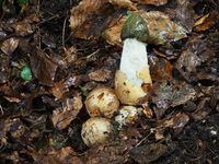 Common stinkhorn and witch's eggs