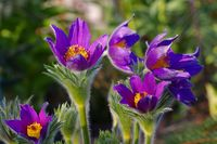 Kuechenschelle Pinwheel Blue Violet Shades - pasque flower species Pinwheel Blue Violet Shades