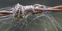 back of a cross spider on a fence