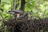 male and female together at nest, rare situation... Sparrowhawk *Accipiter nisus*