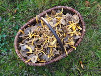 Yellowfoot, winter mushroom, or Funnel Chanterelle.
