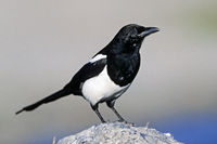 Black-billed Magpie / American Magpie