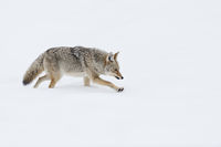 on its way through the snow... Coyote *Canis latrans*