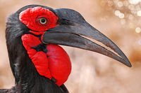 southern ground hornbill, Kruger NP, South Africa