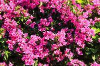 Bougainvillea tree closeup.