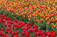Blooming tulip field in the area of Bollenstreek, Netherlands