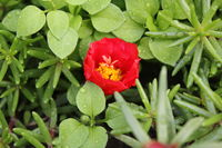 Portulaca flowers background in the garden 20530