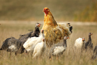 domestic hen standing with guineafowl flock on meadow