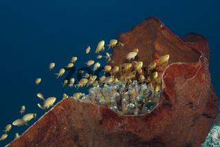 Gruene Fahnenbarsche am Korallenriff, Indonesien