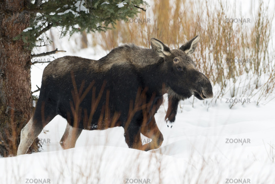 in its typical surrounding... Moose *Alces alces*