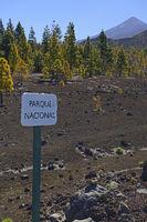 Schlld zum Nationalpark, Kanarische Kiefern (Pinus canariensis)