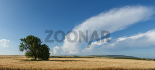 Panorama wheat field