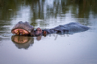 Hippo standing in the water yawning.