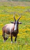 Bontebok, West Coast National Park, South Africa